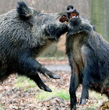 year of the pig_fighting